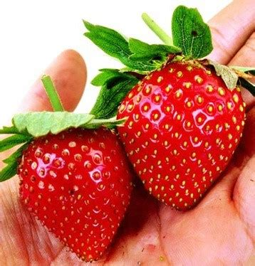 Bibit Benih Seeds Buah Markisa Jumbo Big Fruit jual benih strawberry 8 biji non retail bibit