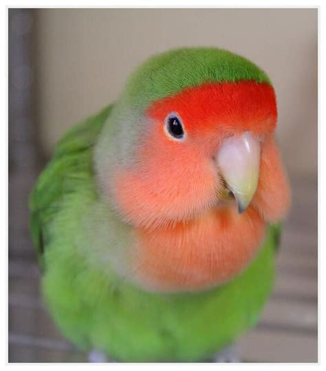 peach faced lovebird by mina parrot pinterest