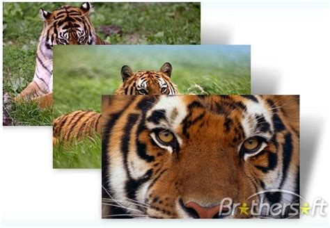 tiger themes for windows 7 free download download free year of the tiger windows 7 theme year of