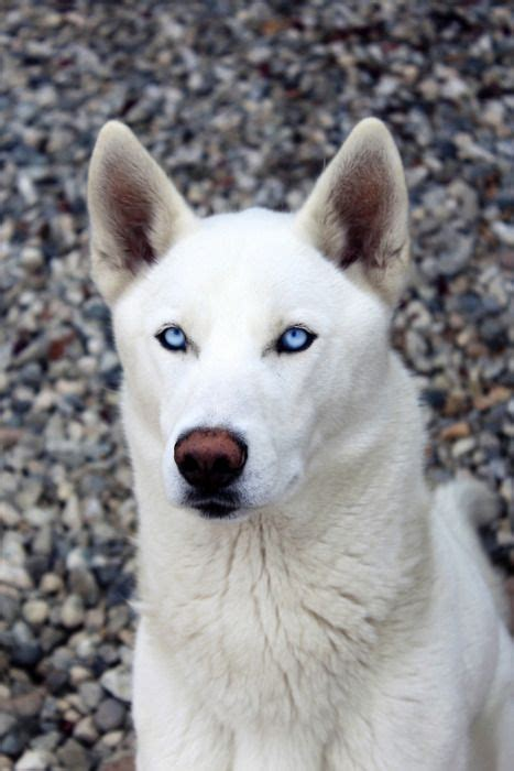 wolf husky puppies with blue eyes siberian huskies dogs et doggie treats pinterest