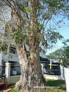 rubber tree st 阿多的世界 江沙及江沙美食