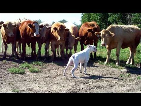 skidboot trailer watch cow herding dogs at the southern farm show doovi