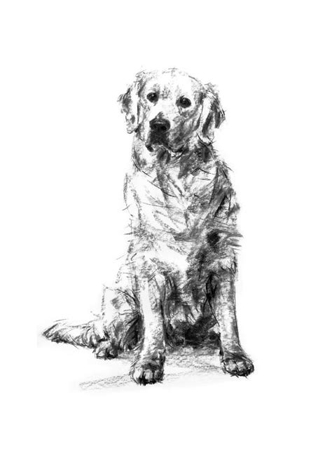 black and white golden retriever pictures best 10 golden retriever ideas on pet and golden