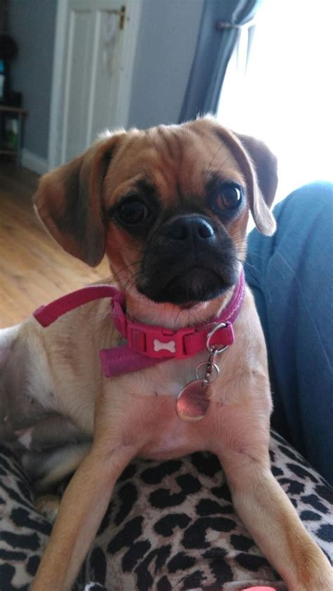5 month puppy beautiful pugalier 5 month puppy ulceby lincolnshire pets4homes