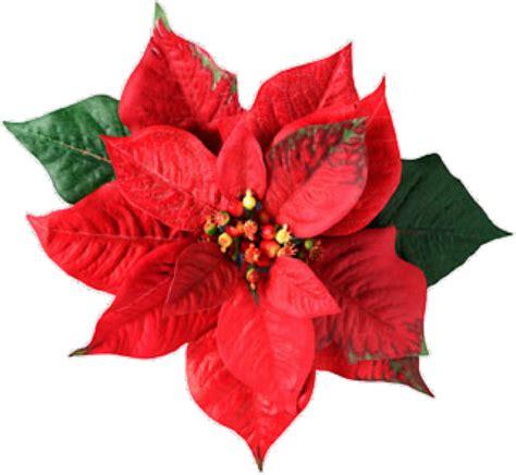 imagenes navideñas de nochebuenas flores de nochebuena imagui