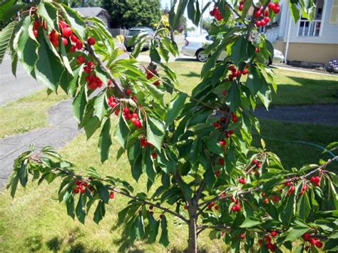 cherry tree mac os x 7 popular or miniature fruit trees for a limited space the self sufficient living