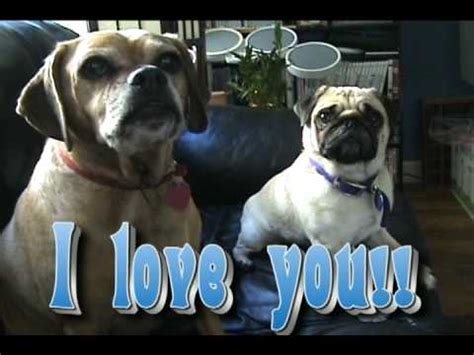 talking pugs amazing pug talks funnydog tv