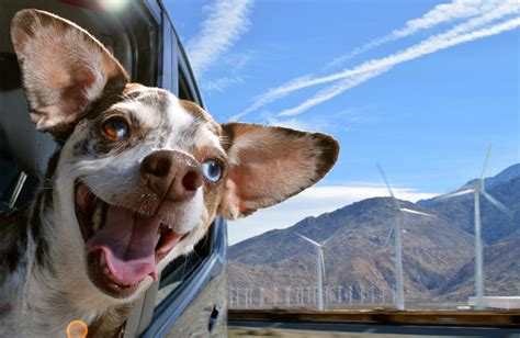 designboom dogs the unbounded delirium of dogs in cars captured by lara jo