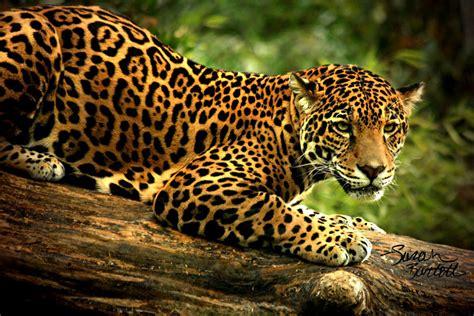 Jaguar In Leopardo Guepardo Jaguar Y Tigre Ojo De Leopardo