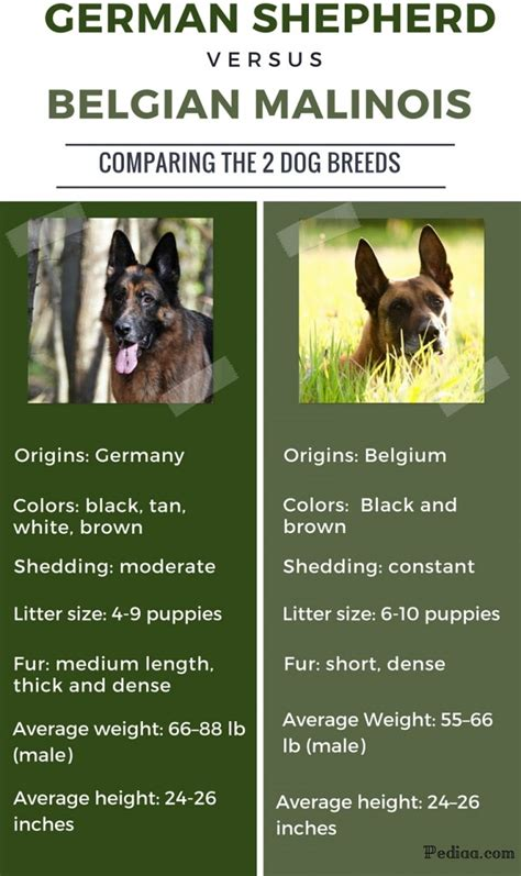 belgian malinois vs german shepherd belgian shepard malinois breeds picture