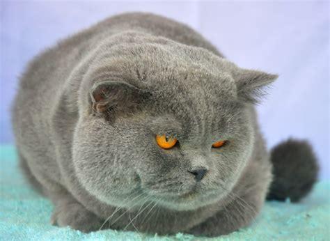 Kucing Shorthair kucing ras shorthair info kucing anggora