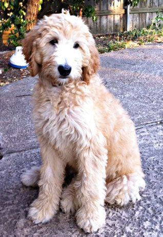 goldendoodle grooming puppy cut 25 best ideas about goldendoodle haircuts on