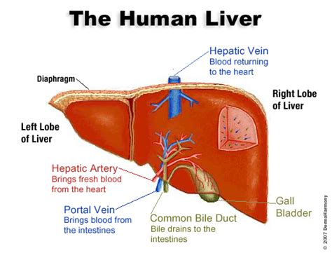 Human Detox System by Detoxification Liver And Psoriasis