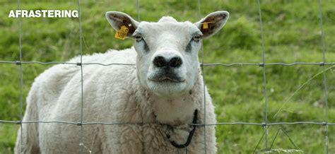 geiten in tuin schapen geiten de boer