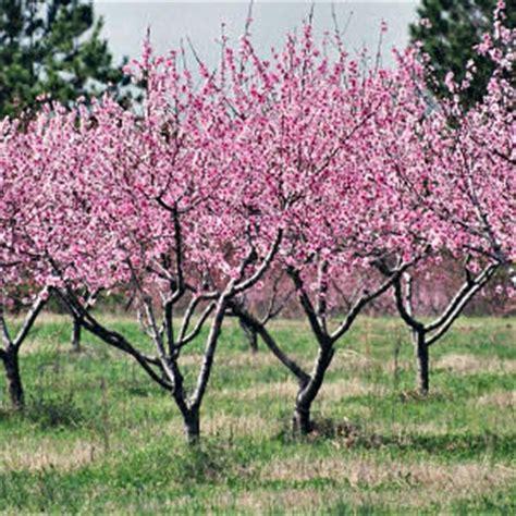 choosing  planting  peach tree pat welsh organic