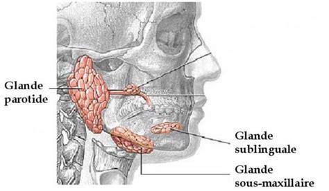 dentistindo on quot saliva disekresi oleh 3 kelenjar