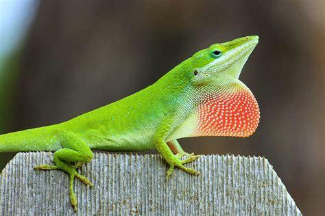 green anole matbio matanzas biodiversity reptiles
