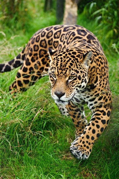 imagenes jaguar felino banco de im 193 genes leopardo caminando sigiloso por el