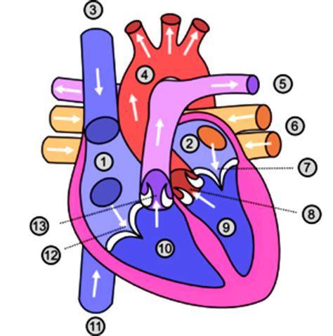 imagenes de corazones del cuerpo humano dibujos imagenes biologia sistema aparato imagenes de las