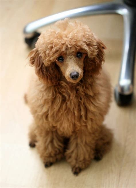 cheap haircuts reno 316 best poodles images on pinterest poodles dog