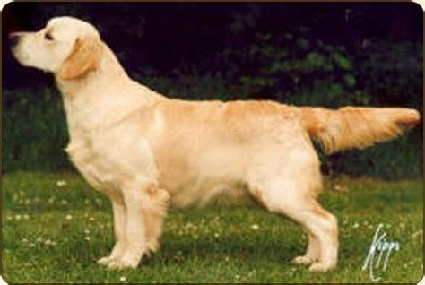 stanroph golden retrievers chien golden retriever ch ang stanroph so it had to be