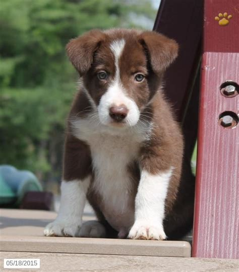 border collie puppies for sale in pa 17 best ideas about collie puppies for sale on collies for sale border