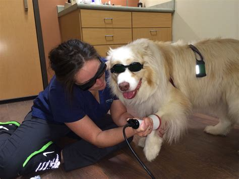 laser therapy for dogs cold laser archives naperville animal hospital naperville il