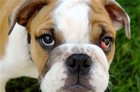what is cherry eye in dogs cherry eye in dogs pets magazine
