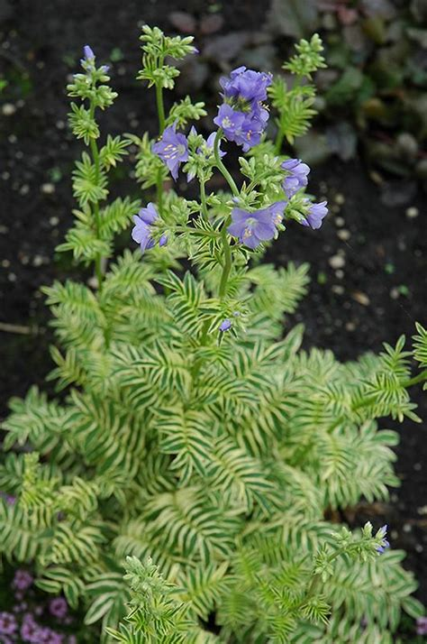 polemonium caeruleum brise danjou blanjou