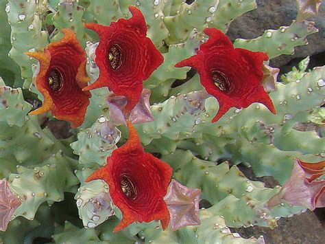 peppino fiori caralluma socotrana 183 inaturalist org