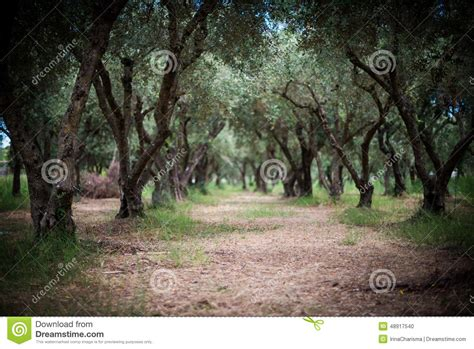 mysterious olive garden in greece stock photo image
