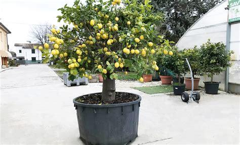 terriccio per limoni in vaso terra per limoni in vaso gli agrumi non vanno potati o ma
