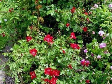 piante tappezzanti fiorite tappezzanti