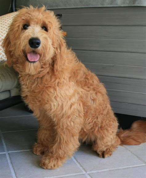 goldendoodle puppies oklahoma f2b goldendoodles breeds picture