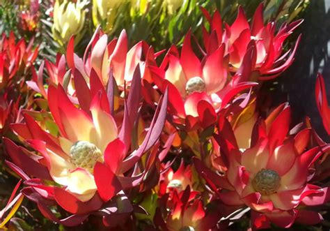 leucadendron red devil  pot   plants