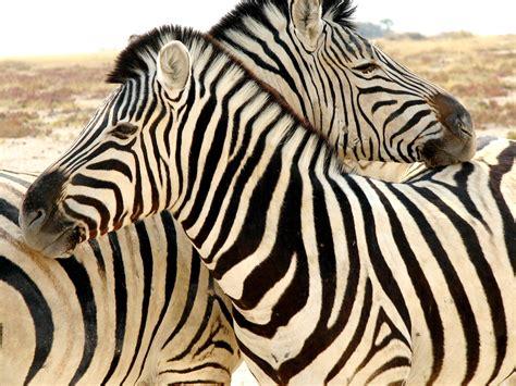 zebra stripes | GondwanaCollection