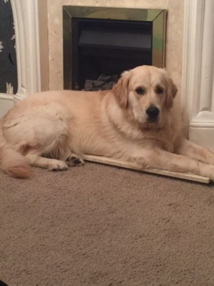 golden retriever stud dogs golden retriever stud portsmouth hshire pets4homes