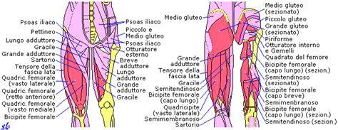 dolore adduttore interno coscia piegamento sulle gambe