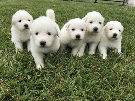 pyrenees puppies for sale best 20 great pyrenees puppy ideas on great pyrenees cutest mixes