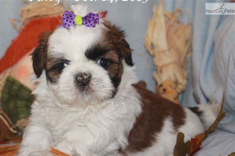 shih tzu puppies for sale near me shih tzu puppy for sale near kirksville missouri fbf42313 f021