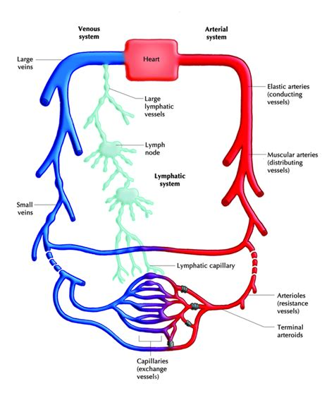 diagram of lymphatic system cardiovascular system diagram empty clipart best