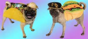 pug in taco costume pugcity pug entertainment pug info pug events pug humor and the pug