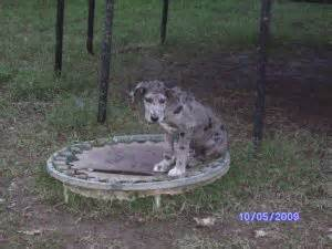 great dane puppies tennessee great dane puppies in tennessee