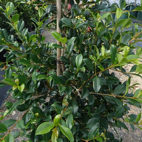 syzygium backyard bliss top 10 hedges syzygium lilly pilly hutchisons naracoorte