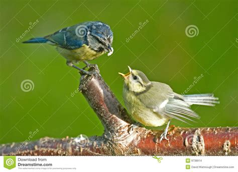 blue tit feeding a fledgling bird stock photo image