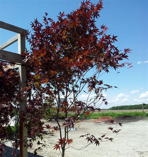 maple tree buy japanese maple trees for sale buy japanese maples ornamental trees