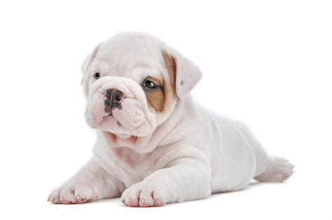 puppy avenue puppies for sale