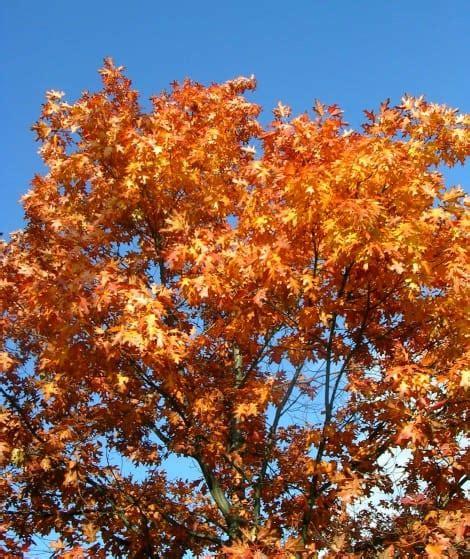 red oak trees identification  care gardening channel