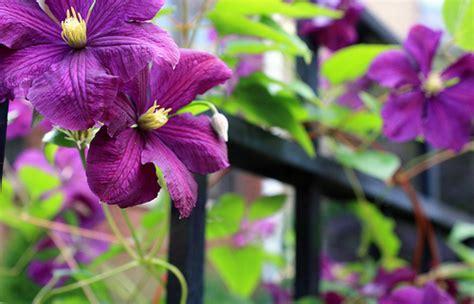 climbing purple flower vine flickr photo sharing