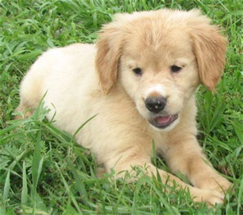 small that looks like a golden retriever goldens